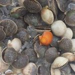 Visual of Scallops caught on a scalloping charter
