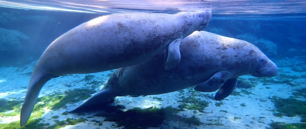 Underwater photograph of manatee from a manatee swim tour