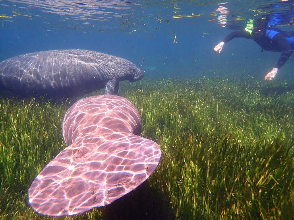 snorkeler swimming with manatee atop eelgrass beds