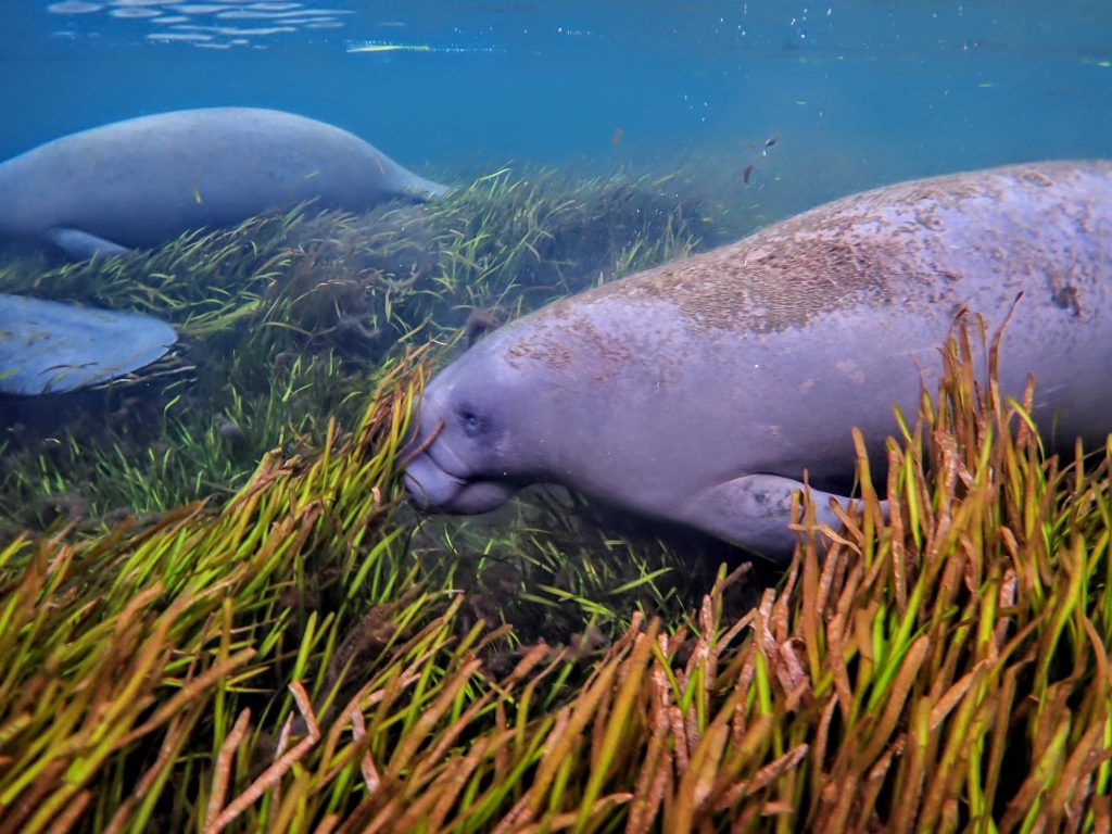 three manatee swimming through eelgrass