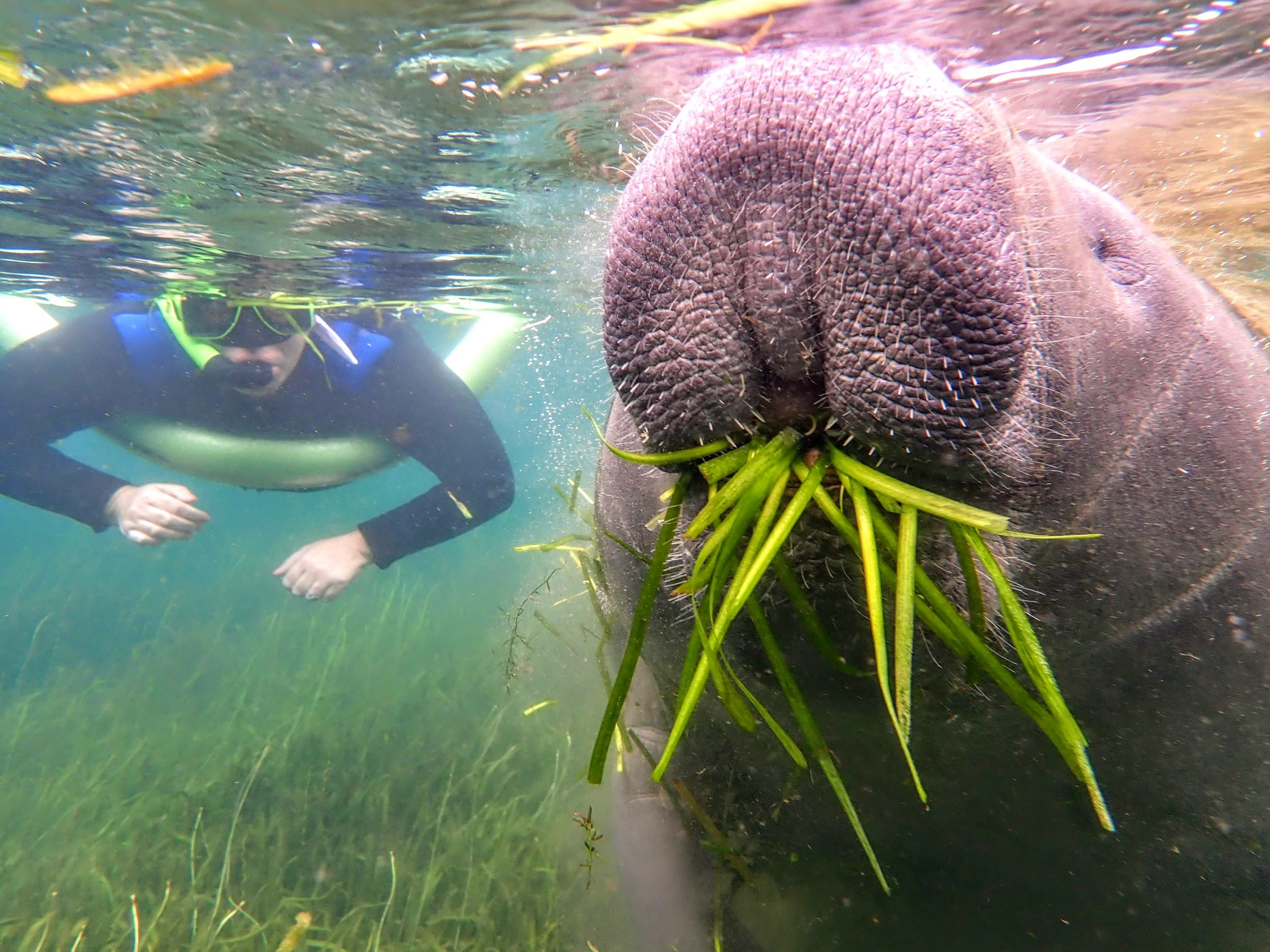 swimming with manatee in crystal river
